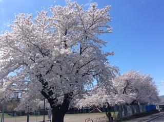 桜�A.JPG